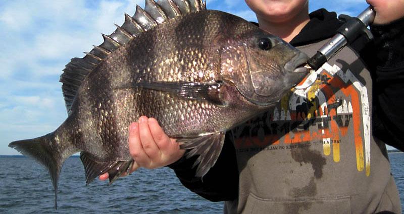sheepsheadfish