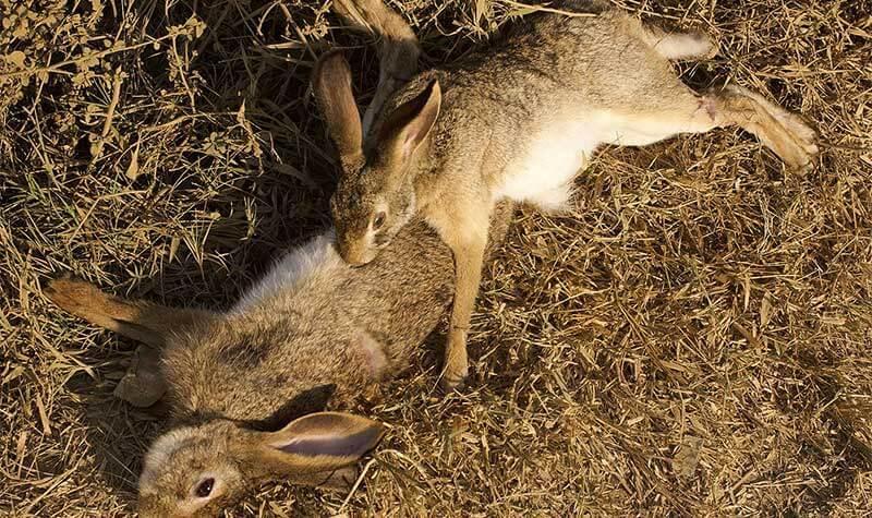 hunting rabbits